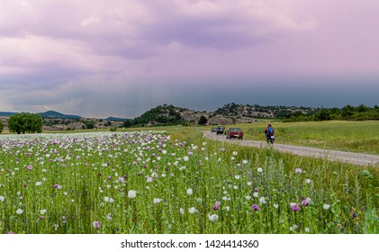 Opium poppies with white and purple flowers growing in field and cars and motorbike in traffic just near the fields, Afyonkarahisar, Turkey