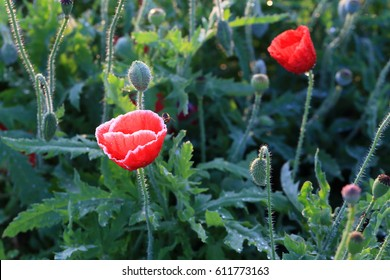 Opium poppy images stock photos vectors shutterstock opium poppy mightylinksfo