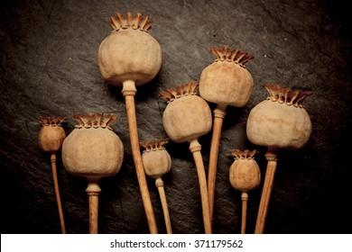 Opium poppy (Papaver somniferum) seed heads, vintage look