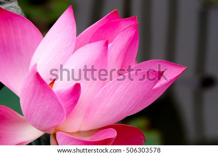 Opne Lotus Flower Isolated Screensaver Background Stock Photo Edit