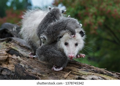 Opossum (Didelphimorphia) Carrying Joeys Steps Forward Summer - captive animals