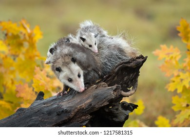 Opossum (Didelphimorphia) With Joeys On Log in Autumn - captive animals