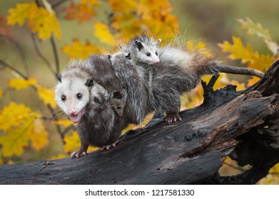 Opossum (Didelphimorphia) Walks Left on Log with Load of Joeys and Open Mouth - captive animals
