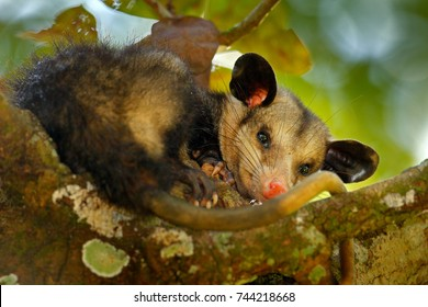Opossum, Didelphis marsupialis, from Mexico. Wildlife animal scene from nature. Rare animal on the tree. Common Opossum in green vegetation, animal in the habitat. Tropical junge, Central America.