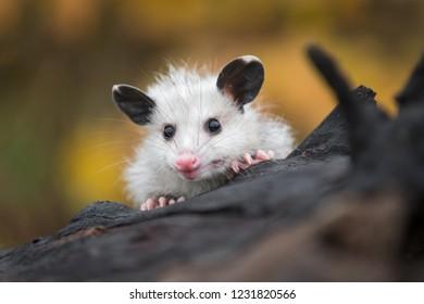 Opossum Joey (Didelphimorphia) Peers Over Log - captive animal