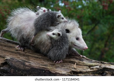 Opossum Joeys (Didelphimorphia) Cling to Mother - captive animals