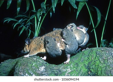 Opossum mother carrying her six babies on her back. Moving home in jungle