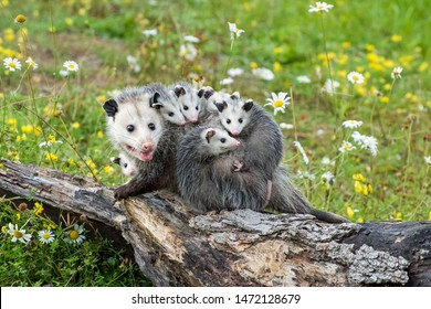 Opossum or Possum Mother with Joeys riding on her Back
