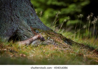 Opportunistic small predator, Stone marten, Martes foina, in typical european spruce forest environment. Beech marten, next to ground hole under the spruce tree.