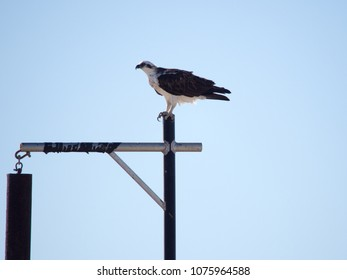 Opsrey perching on a pole, Kalbarri National Park, Western Australia
