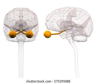 Optical Nerve Brain Anatomy - 3d illustration