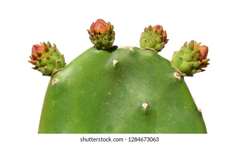 Opuntia cactus (prickly pears). Fruit development. Isolated on a white background. Sabra Fruit