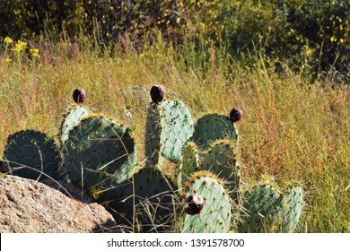 Opuntia, commonly called prickly pear, is a genus in the cactus family, Cactaceae. Prickly pears are also known as tuna (fruit), sabra, nopal (paddle, plural nopales) from the Nahuatl word nōpalli for