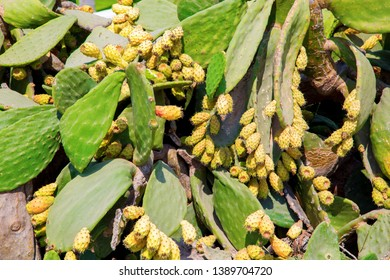 Opuntia ficus-indica Prickly pear with numerous yellow fruits growing in Cyprus on the coast