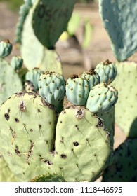 Opuntia fruits grow on a cactus. Oputnia is known by the name prickly pear cactus, tuna, sabra and nopal.