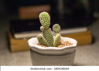 Opuntia microdasys (angel's-wings, bunny ears cactus, bunny cactus or polka-dot cactus) is a species of flowering plant in the cactus family Cactaceae, native and endemic to central and northern Mexic