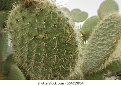 Opuntia scheeri, Cactus