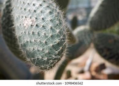 Opuntia scheeri plant