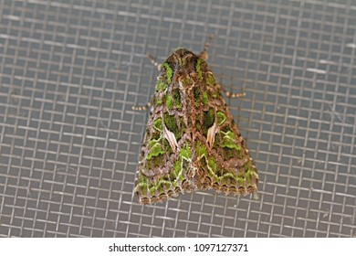 orache moth Latin trachea atriplicis a type of noctuid moth at rest on a screen door in summer in central Italy a continental moth rarely seen in mainland Britain but is seen in the Channel Islands