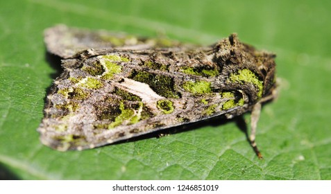 The Orache Moth (Trachea atriplicis)