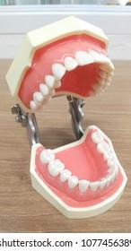 oral anatomy model