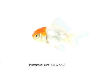 oranda goldfish / Carassius auratus auratus, on an isolated background