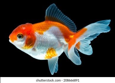 ORANDA GOLDFISH ISOLATED ON BLACK, HIGH QUALITY STUDIO SHOT MANUALLY REMOVED FROM BACKGROUND SO THE FINNAGE IS COMPLETE