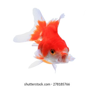 Fancy Goldfish Images, Stock Photos & Vectors | Shutterstock