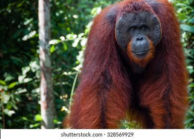 Orang Utan alpha male standing in Tanjung Puting National Park Kalimantan Borneo Indonesia