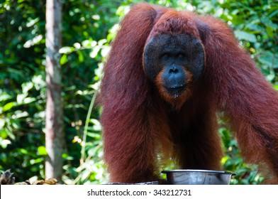 Orang Utan alpha male standing in Borneo Indonesia, Kalimantan Tanjung Puting
