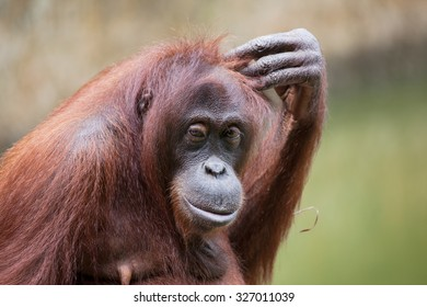 ORANG UTAN IN A CONFUSED MOOD an orang utan in captivity in a human-like gesture showing a confused condition.