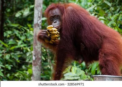 Orang Utan eating Bananas in national park Tanjung Puting Kalimantan Borneo Indonesia