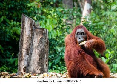 Orang Utan female with bananas in Tanjung Puting National Park Kalimantan Borneo Indonesia