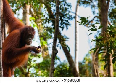 Orang Utan hanging on a tree in the jungle, Kalimantan, Borneo, Tanjung Puting, Indonesia