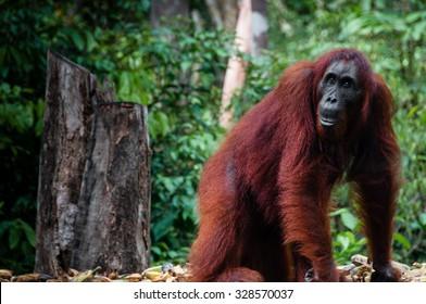 Orang Utan seen in national park Tanjung Puting Kalimantan Borneo Indonesia