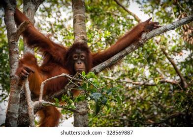 Orang Utan sitting on a tree in national park Tanjung Puting Kalimantan Borneo Indonesia