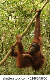 Orang Utan is Swinging in the jungle of Kalimatan in Borneo