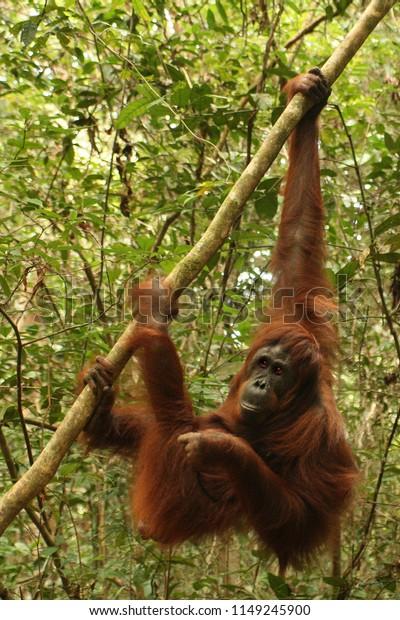 Orang Utan is Swinging in the jungle of Kalimatan in Borneo