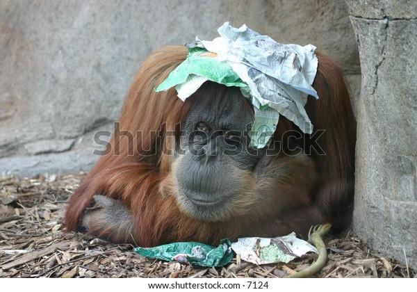 orangatan seeking shade