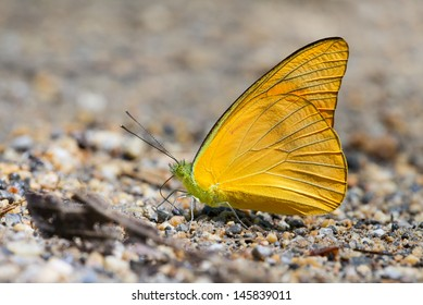 Orange Albatross (Appias nero) is a butterfly of the family Pieridae, that is, the Yellows and Whites.