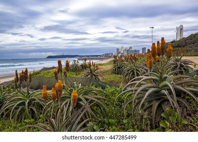Orange aloes and plants growing on rehabilitated dunes against city skyline in Durban, South Africa