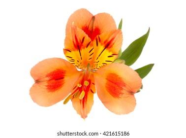 Orange Alstroemeria flower head closeup isolated on white background