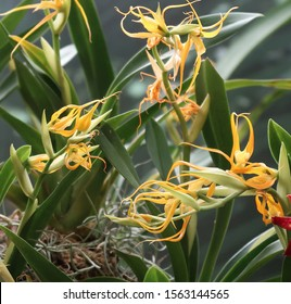 Orange Amazonian Orchids 'Brassia Pozoi'. Orchids from Ecuador and Peru. Cloud forest orchids. Cool temperature orchids. Star-shaped flowers.