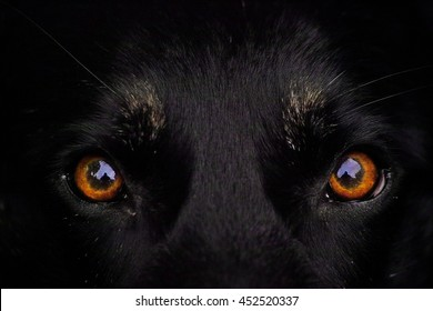 Orange amber eyes of a black dog, wolf eyes looking angry or expectant out of the darkness