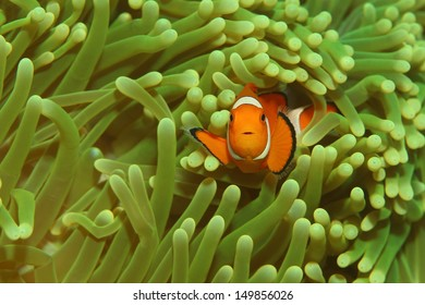Orange Anemone fish in a green anemone