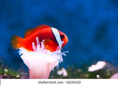 an orange anemone-fish between a white anemone