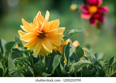 Orange annual dahlia flower (Dahlia variabilis)