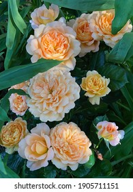 Orange and apricot blend color Modern Shrub Rose Andre Turcat flowers in a garden in July 2020. Idea for postcards, greetings, invitations, posters, wedding and Birthday decoration, background