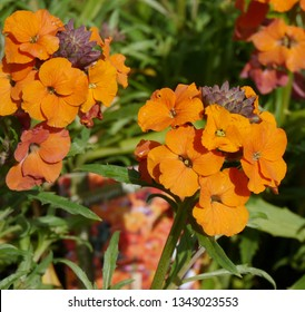 Orange Apricot Flowering Erysimum Apricot Twist Wallflower Plant