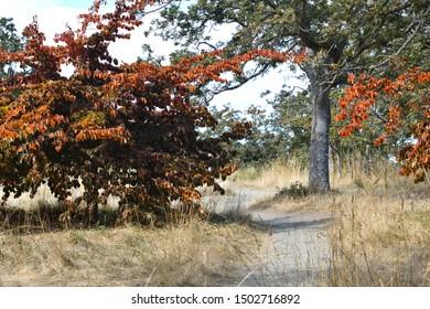 Orange Autumn Beech Tree Along a Park Path